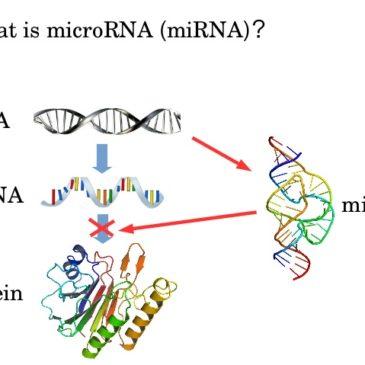 I microRNA nella Distrofia Miotonica di tipo1